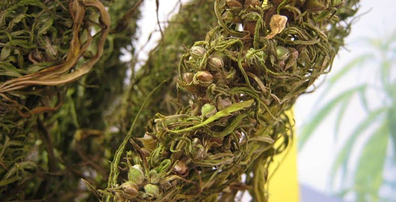 seeds in weed
