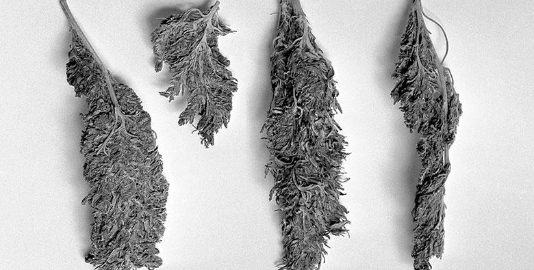 what is cannabis microdosing