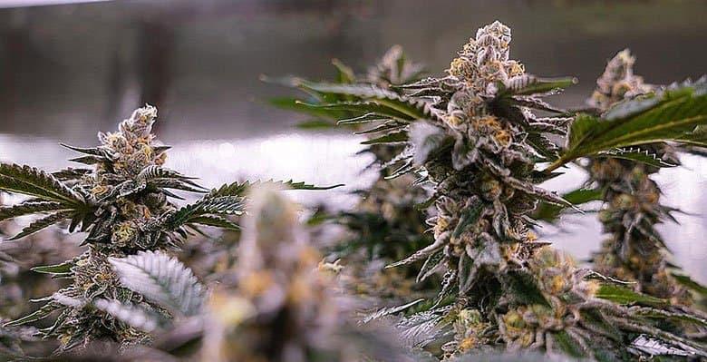 California-cannabis-tax-money