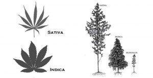 Indica vs. Sativa: Understanding the Differences Between Species