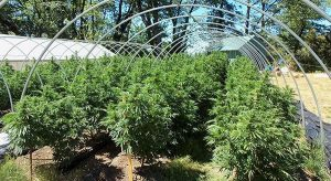 """How to """"Legally"""" Grow Over 6 Plants in Colorado"""