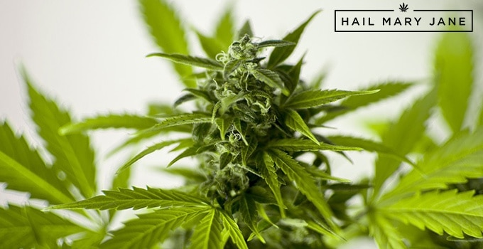 1 Organic Weed RR