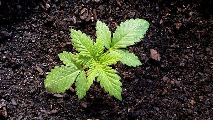 Germinating organic cannabis seeds