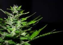 organic cannabis seeds