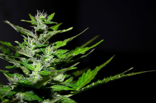 You are currently viewing Organic Cannabis Seeds: A Complete Guide