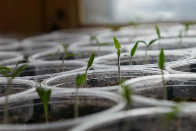 marijuana germination