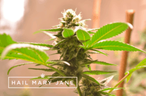 Read more about the article Star Tribe Strain – All You Need To Know