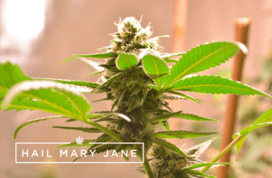 You are currently viewing Star Tribe Strain – All You Need To Know